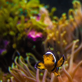 Clown 2 by rich AMeN Gill by Rich Gill - Animals Fish ( rich amen gill, clown fish, new mexico, canon 5d, rich gill, sea creatures, underwater life, ocean life )
