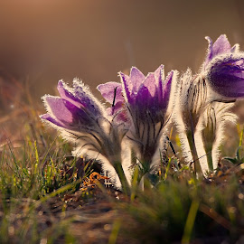Waking in the Morning Light by Jiri Cetkovsky - Flowers Flowers in the Wild ( violet, pulsatilla, morning, light, flower )