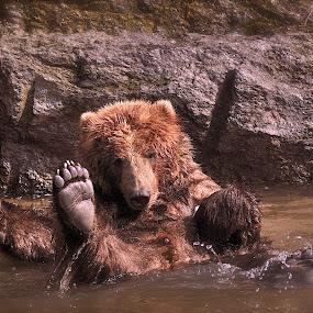 good bath  by Dejan Gavrilovic - Animals Other ( bear foot big bear bears )