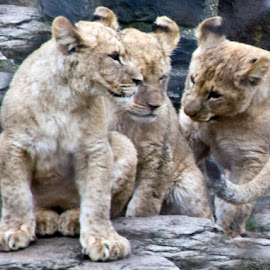 by Andy Antipin - Animals Lions, Tigers & Big Cats ( cats, animals, zoo, cubs, lions )