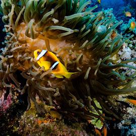sharm_uw8 by Emanuele Pola - Animals Sea Creatures ( nauticam, underwater, sharm el sheikh, diving, olympus )