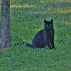 Black Cat by Terry Linton - Animals - Cats Portraits (  )