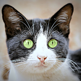 Cat by Pieter J de Villiers - Animals - Cats Portraits