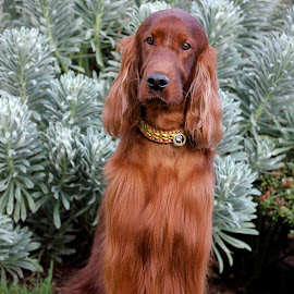 Rohan be carful with that look you give, it steels heart beats! by Ken Jarvis - Animals - Dogs Portraits ( irish, irish setter, dog, dog portrait )