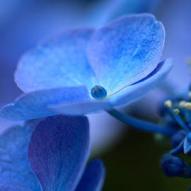 Blue flower by Kim Rogge - Nature Up Close Gardens & Produce