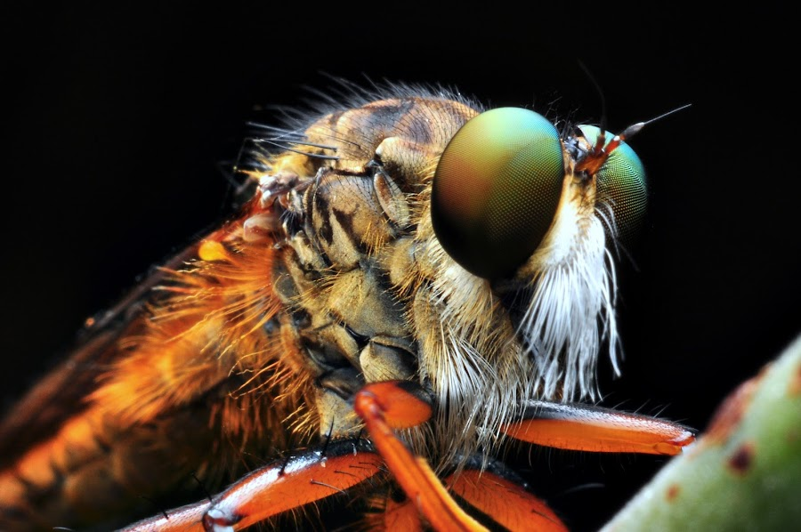 my robberfly by Prince Taurus - Animals Insects & Spiders ( robberfly )