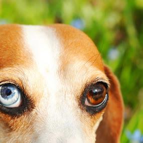 One Blue Eye by Melanie Metz - Animals - Dogs Portraits ( dachshund, summer, dog, portrait, animal, eyes )
