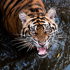 Tiger Sumatra by Robert Cinega - Animals Lions, Tigers & Big Cats (  )