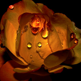 gold by Anand Kumar - Nature Up Close Flowers - 2011-2013 ( water, rose, nature, petals, drops, close up, flower, golden )