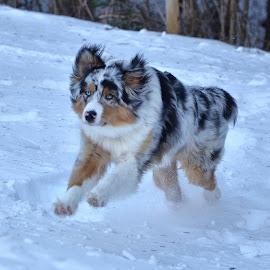 Veselje na snegu by Bojan Kolman - Animals - Dogs Running (  )