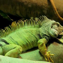 by Steve Tharp - Animals Reptiles