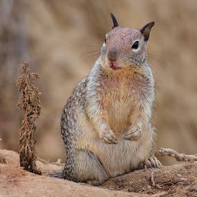 Il a peur le petit squirrel by Gérard CHATENET - Animals Other Mammals