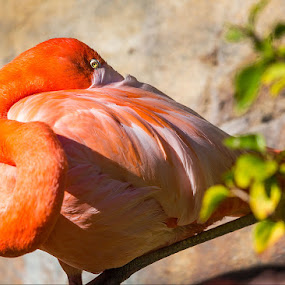 Flamingo at San Diego Zoo by Susan Koppel - Animals Birds ( bird, san diego zoo, red, flamingo, feathers )
