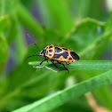 Cabbage Shield Bug