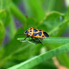 Cabbage Shield Bug