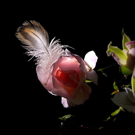 *** by Jurijs Ratanins - Instagram & Mobile Android ( rose, mobilography, nature, plants, flowers, feather )