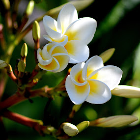 White Frangipani 5 by Mark Zouroudis - Nature Up Close Flowers - 2011-2013 ( open, spray, tree, white, frangipani, flowers, buds, flower, nature,  )