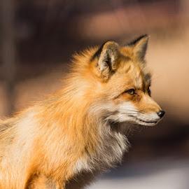 foxy by Lucas Strawhorn - Animals Other ( winter, fox, nature, orage, fur )