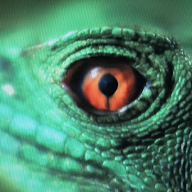 Evil Eye by Linda McCormick - Animals Reptiles ( snake, red, nature close up, reptile, eye )