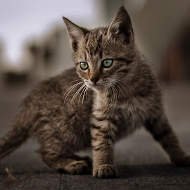 by Tomislav Mašera - Animals - Cats Kittens