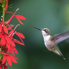 Hummer and Cardinal Flower by Sue Matsunaga - Animals Birds