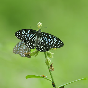 butterfly's  by B Thottoli - Animals Other ( butterfly, nature, nikon )