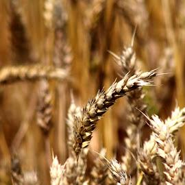 wheat by Miroslav Bičanić - Nature Up Close Gardens & Produce ( wheat, bread, food, summer, harvest, ready )