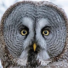 Gray Owl by Mats Andersson - Animals Birds ( bird portrait, beak, owl, bird of prey, bird, yellow, yellow eyes, gray owl, intensiv look, yellow beak, eyes )