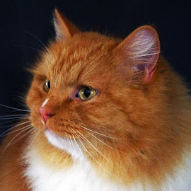 Big boss by Ingrid Anderson-Riley - Animals - Cats Portraits (  )