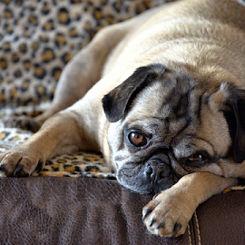 Zachary by Brenda Reed Buehler - Animals - Dogs Portraits ( love, couch, family, pet, loveloving, dog, pug )