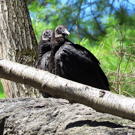 Black Vulture Pair by Erika  Kiley - Novices Only Wildlife ( bird, vulture, forest, spring, black )