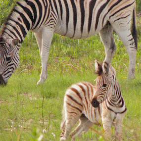 Zebra by Stlucia Trumpeter - Animals Horses
