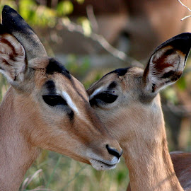 Young Love by Larry Smith - Animals Other ( heart, kudu, nuzzling, animal )