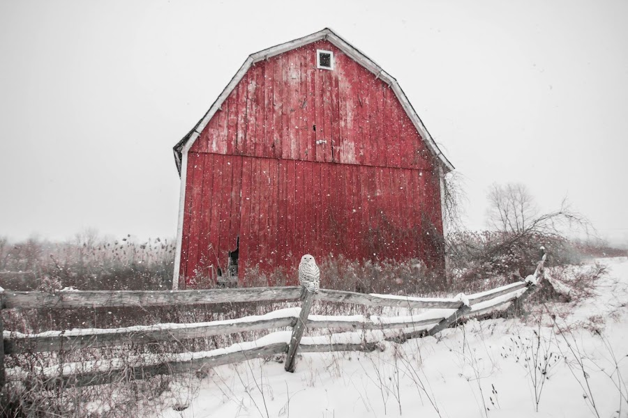 Snowy Owl by Jason Holden - Uncategorized All Uncategorized ( michigan, fence, red, winter, barn, snow, rustic, snowy owl )