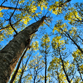Poplar by Tim Day - Nature Up Close Trees & Bushes ( sky, nature, poplar, trees, poplar trees )