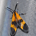 Tiger Moth Mimic of a Net Wing Beetle
