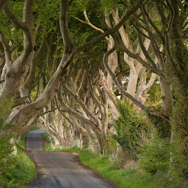 the dark hedges by Patricia Morrow - Landscapes Forests ( relax, tranquil, relaxing, tranquility )