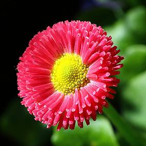 Daisy Flower by Chrissie Barrow - Flowers Single Flower ( stigma, single, stamens, petals, green, bellis perennis, pink, yellow, bokeh, garden, flower,  )