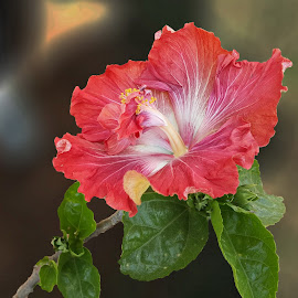 Hibiscus flower by Prema Pangi - Flowers Single Flower ( orange, hibiscus, flowerwith stem, garden flower, rare hibiscus, flower )