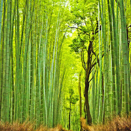 Bamboo Forest by Nicolas Palacios Hernandez - Landscapes Travel ( nico, nicolas palacios photography, japan, nico photography, kyoto, bamboo forest, nicolas palacios,  )