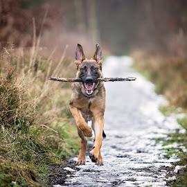 My Stick by Mark Taylor-Flynn - Animals - Dogs Running ( playing, stick, dog, running, gsd, german shephard )
