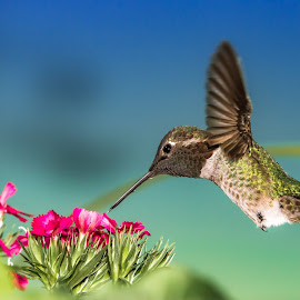 hummingbird by Shane R Fairburn - Animals Birds ( flying, hummingbird, flowers, feathers, birds )