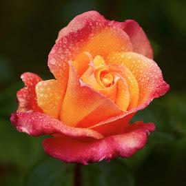 0 Rose 9692~ 1 by Raphael RaCcoon - Flowers Single Flower
