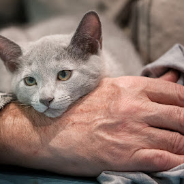 kitten in hand by Aleksander Cierpisz - Animals - Cats Kittens ( hand, cat, kitten, russian, blue, purebreed, greyhand, grey, portrait, human )