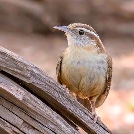 Carolina Wren by Steve Munford - Animals Birds ( caroline, animals, nature, wren, birds )