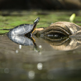Untitled by Cliff Lavigne - Animals Reptiles ( driftwood, peaceful, waterscape, painted turtle, sunning )