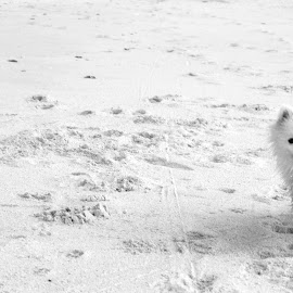 Beach time! by Julene Muller - Animals - Dogs Running ( black and white, white, beach, dog, cute dog, pretty, running,  )