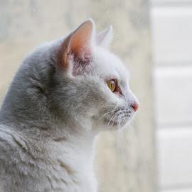 Portrait Luna by Ronald van der Linden - Animals - Cats Portraits ( cats, cat face, cat, cat portrait, white cat )