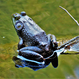 by Peter Rippingale - Animals Amphibians