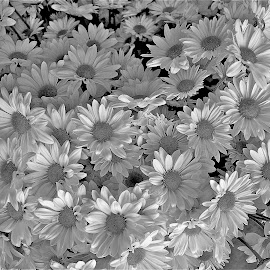by Louis Costabel - Black & White Flowers & Plants